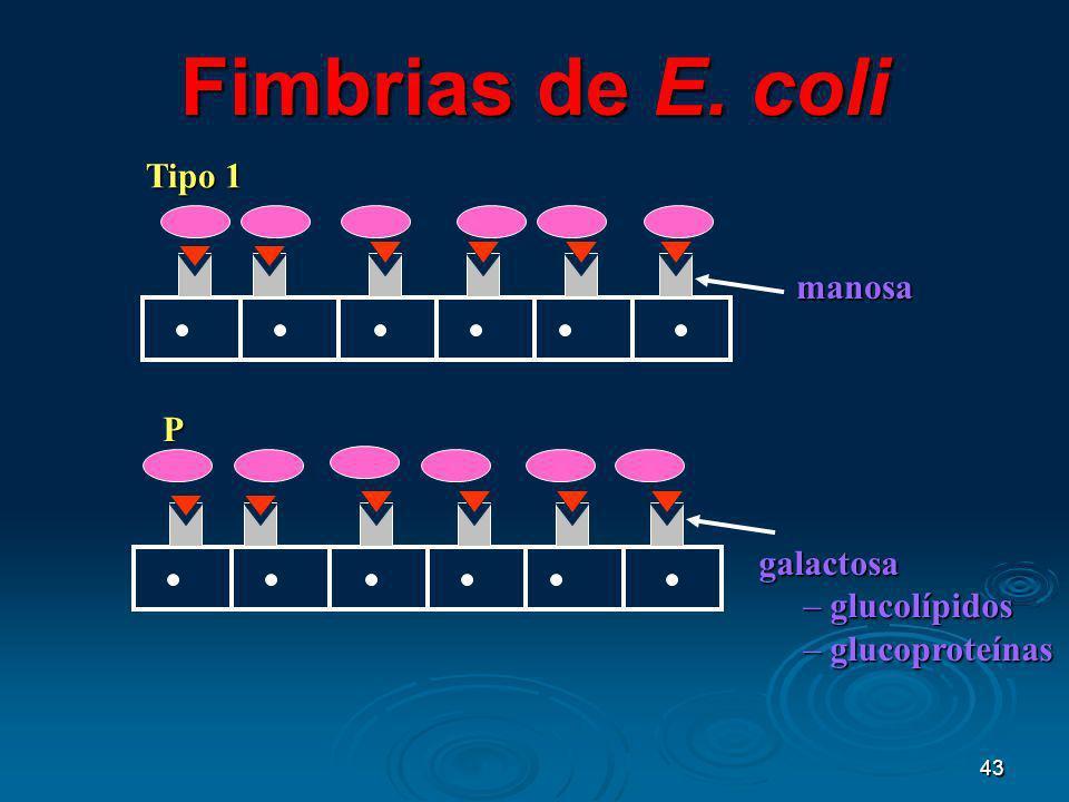 Fimbrias de E. coli Tipo 1 manosa P galactosa glucolípidos