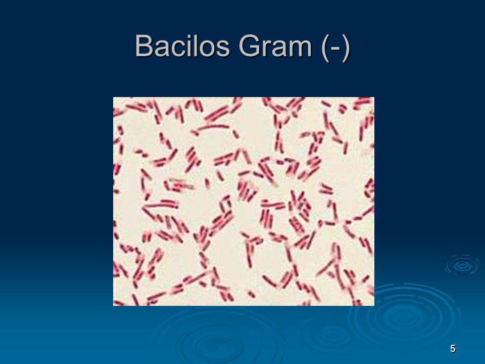 Bacilos Gram (-) 5