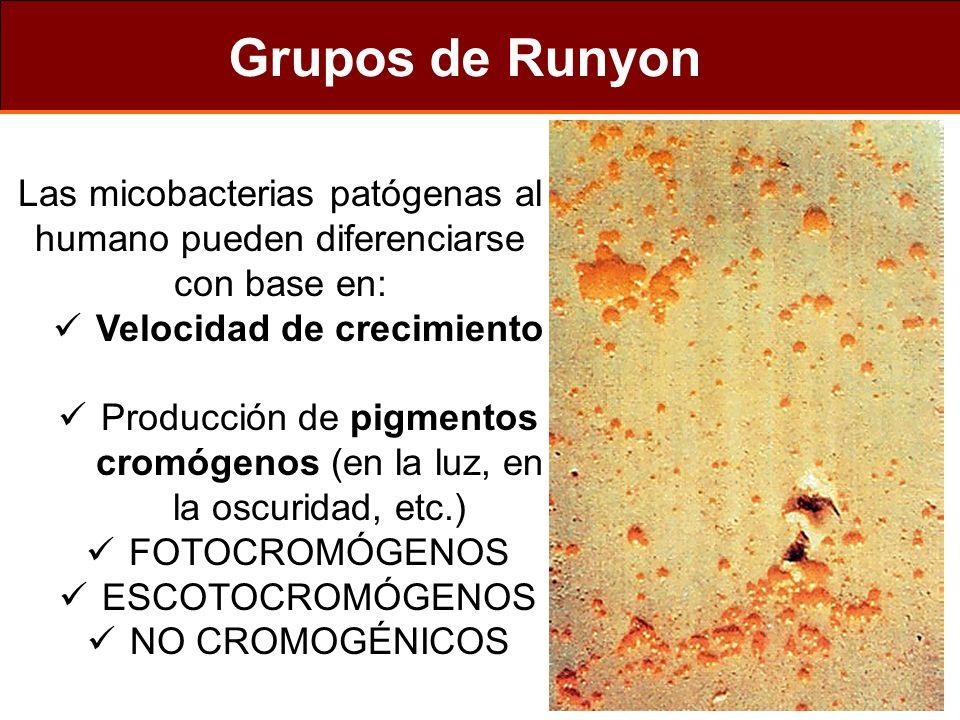 Grupos de Runyon Las micobacterias patógenas al humano pueden diferenciarse con base en: Velocidad de crecimiento.