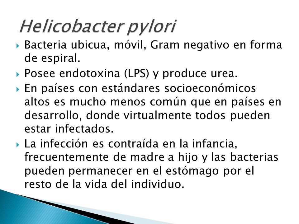 Helicobacter pyloriBacteria ubicua, móvil, Gram negativo en forma de espiral. Posee endotoxina (LPS) y produce urea.