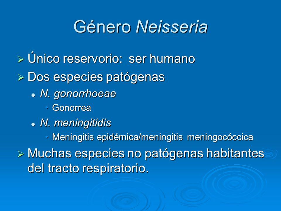 Género Neisseria Único reservorio: ser humano Dos especies patógenas