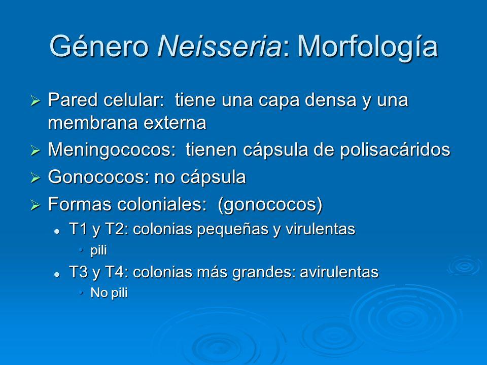 Género Neisseria: Morfología