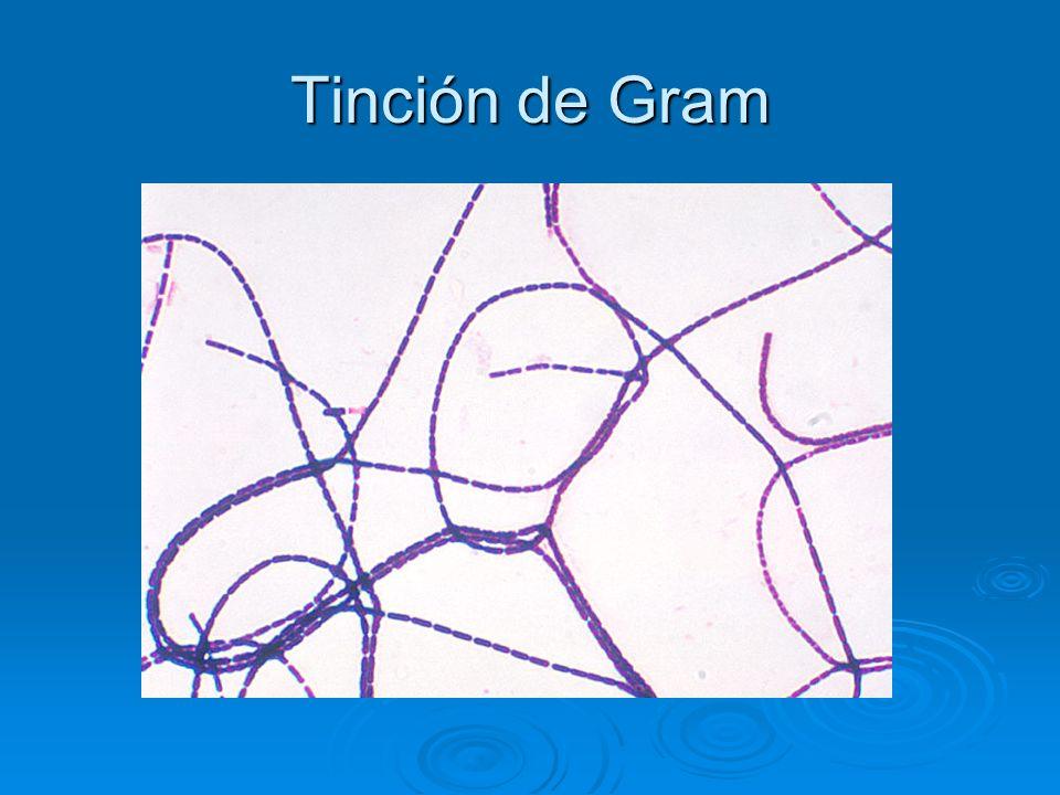 Tinción de Gram