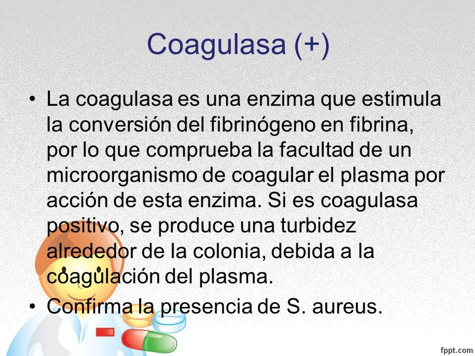 Coagulasa (+)
