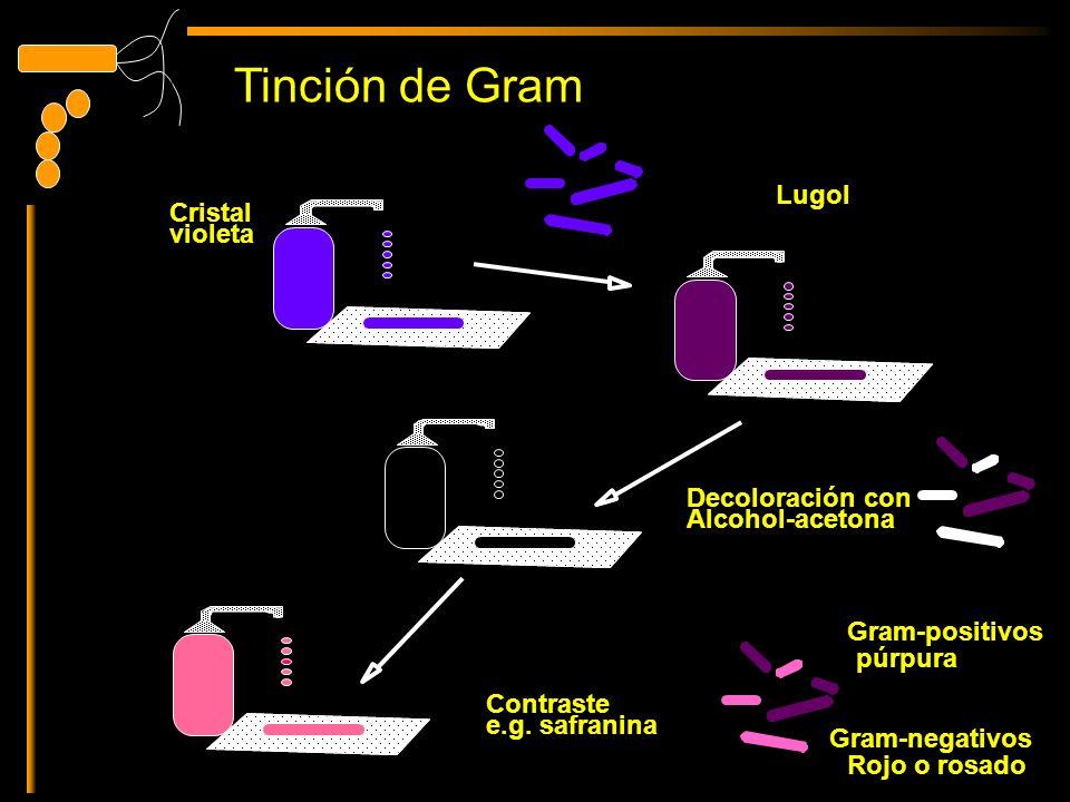 Tinción de Gram Lugol Cristal violeta Decoloración con Alcohol-acetona