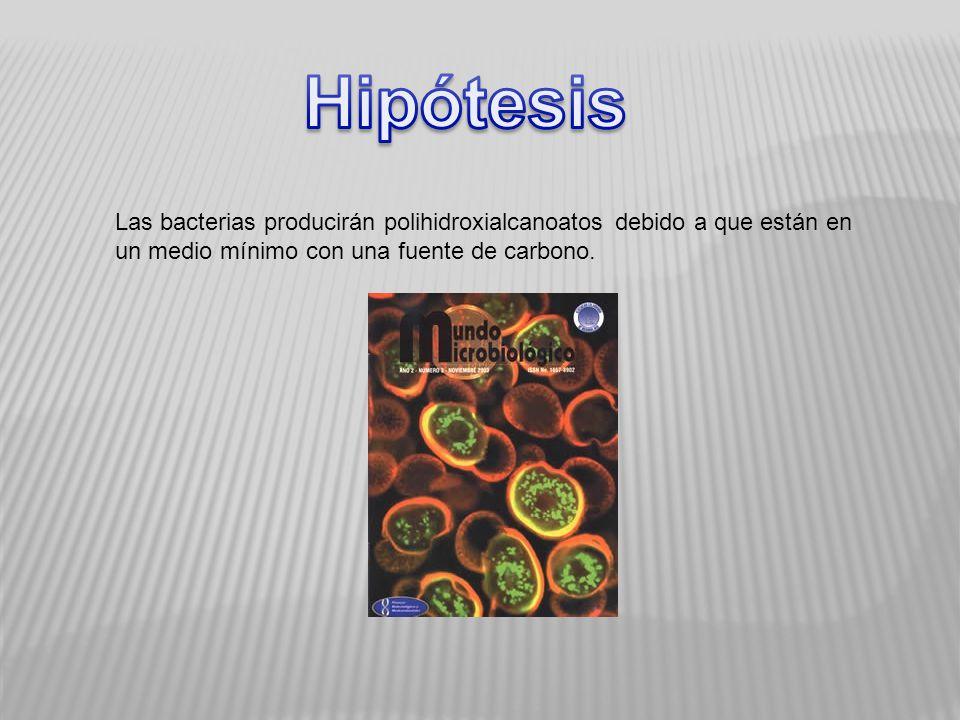 Hipótesis Las bacterias producirán polihidroxialcanoatos debido a que están en un medio mínimo con una fuente de carbono.