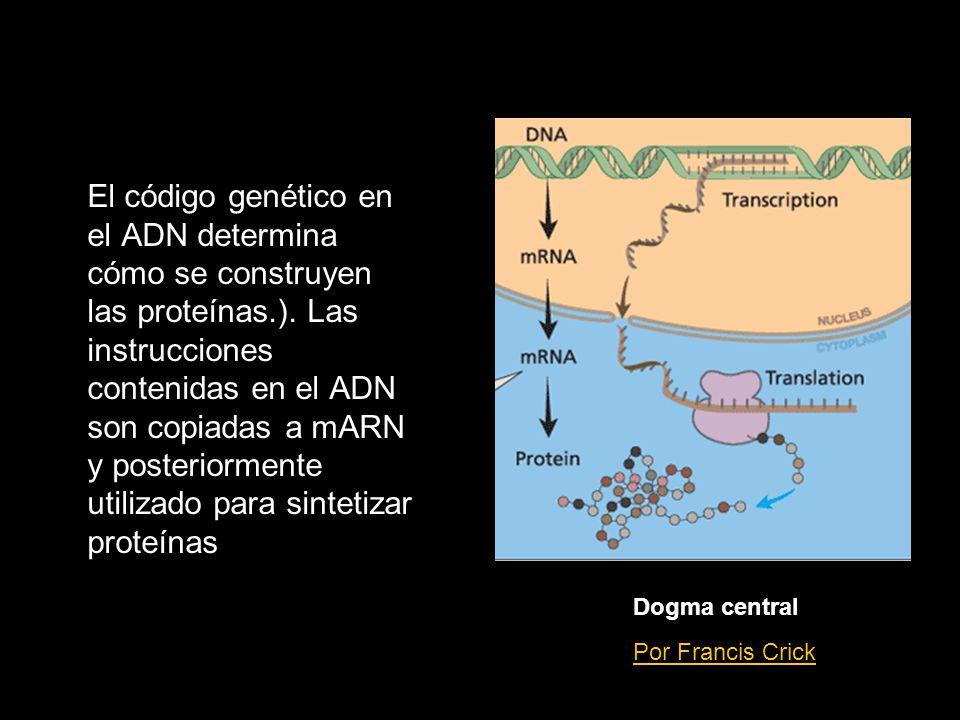 El código genético en el ADN determina cómo se construyen las proteínas.). Las instrucciones contenidas en el ADN son copiadas a mARN y posteriormente utilizado para sintetizar proteínas