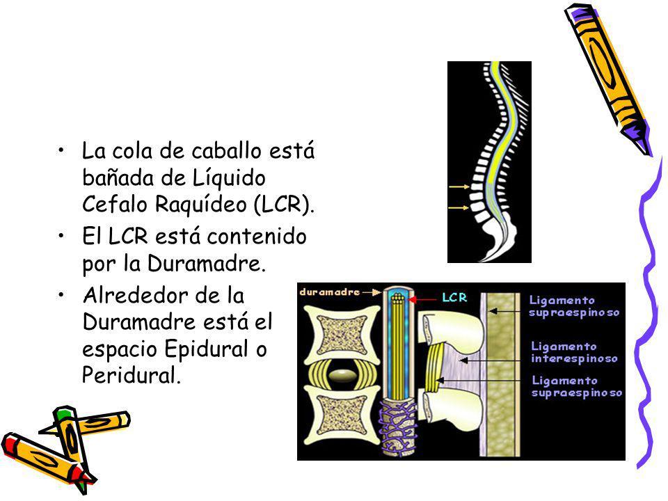 La cola de caballo está bañada de Líquido Cefalo Raquídeo (LCR).