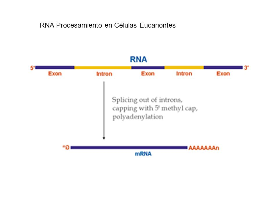 RNA Procesamiento en Células Eucariontes