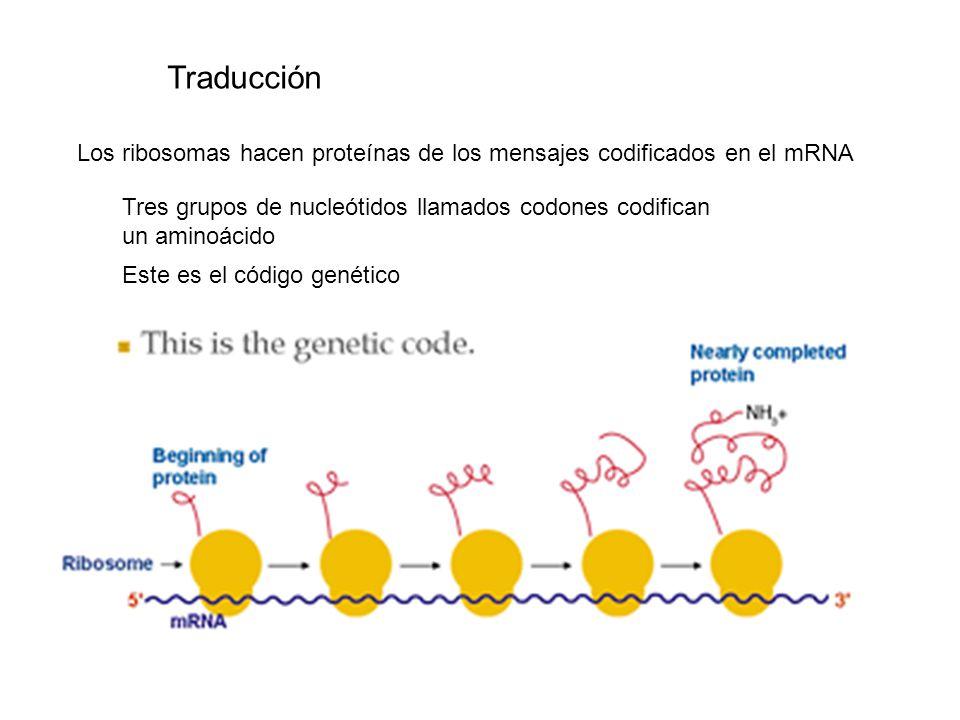 Traducción Los ribosomas hacen proteínas de los mensajes codificados en el mRNA. Tres grupos de nucleótidos llamados codones codifican.