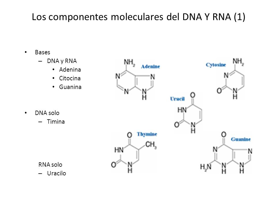 Los componentes moleculares del DNA Y RNA (1)