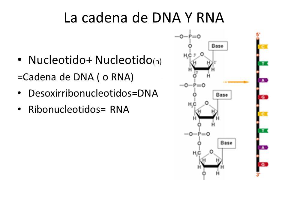 La cadena de DNA Y RNA Nucleotido+ Nucleotido(n)