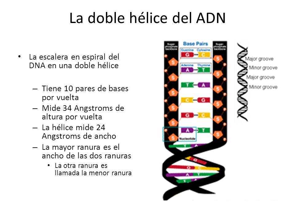 La doble hélice del ADN La escalera en espiral del DNA en una doble hélice. Tiene 10 pares de bases por vuelta.