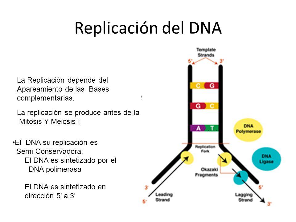 Replicación del DNA La Replicación depende del