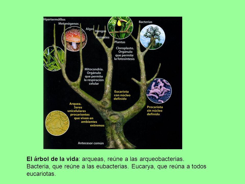 El árbol de la vida: arqueas, reúne a las arqueobacterias