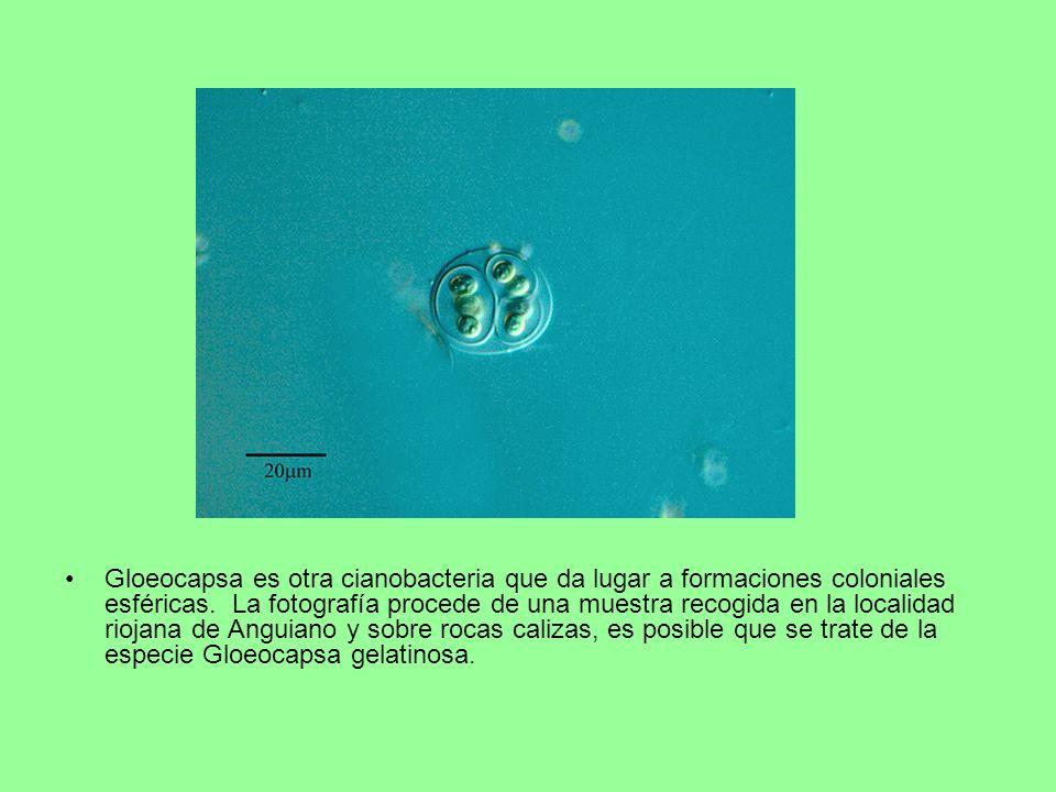 Gloeocapsa es otra cianobacteria que da lugar a formaciones coloniales esféricas.
