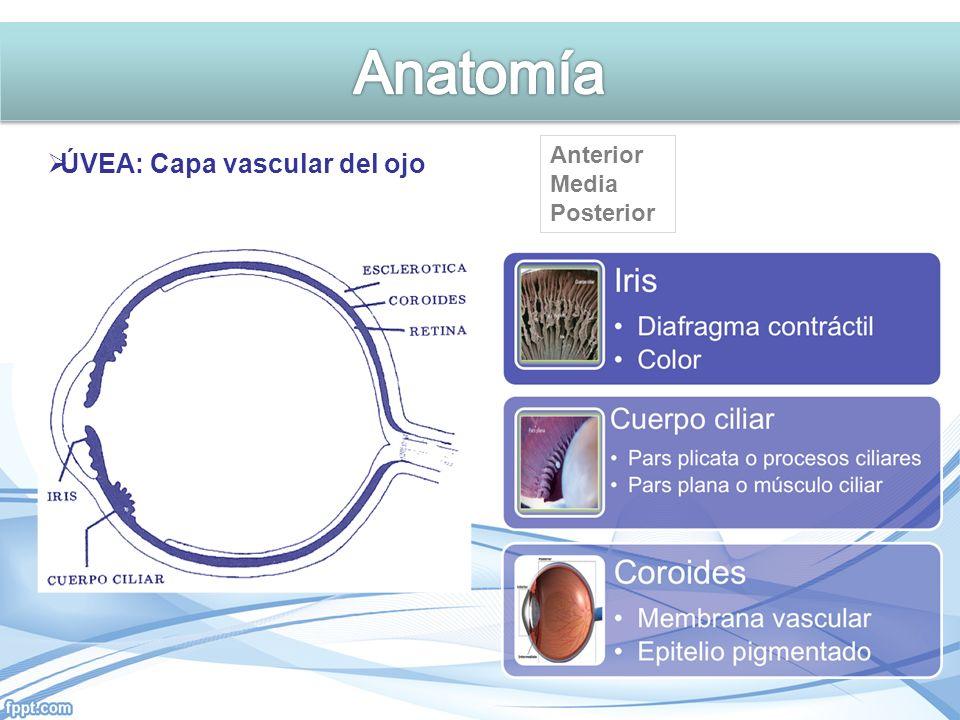 Anatomía ÚVEA: Capa vascular del ojo Anterior Media Posterior