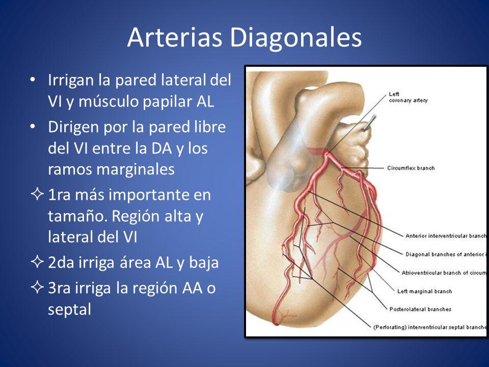 Arterias Diagonales Irrigan la pared lateral del VI y músculo papilar AL. Dirigen por la pared libre del VI entre la DA y los ramos marginales.