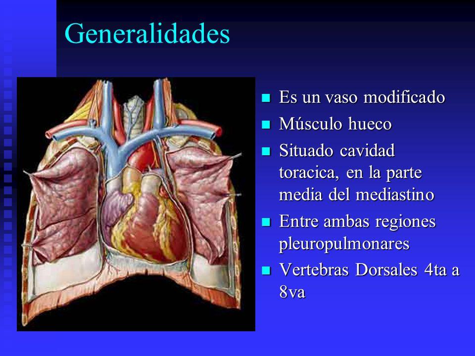 Generalidades Es un vaso modificado Músculo hueco