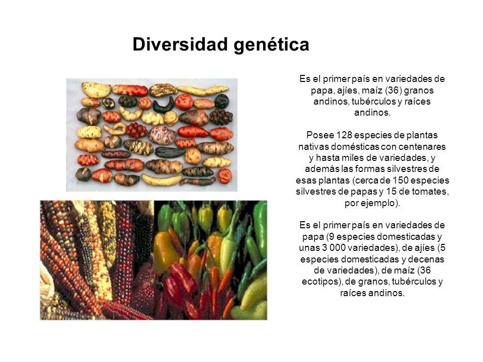 Diversidad genética Es el primer país en variedades de papa, ajíes, maíz (36) granos andinos, tubérculos y raíces andinos.