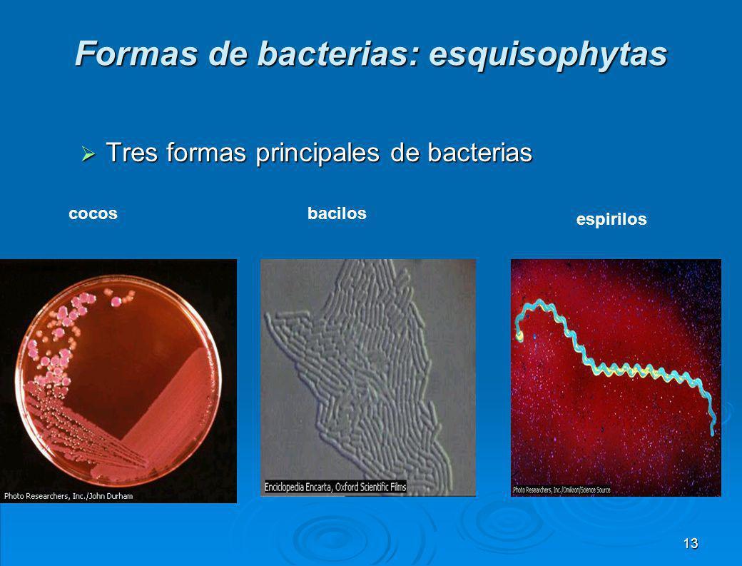 Formas de bacterias: esquisophytas