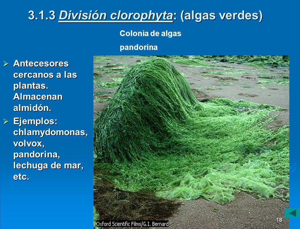 3.1.3 División clorophyta: (algas verdes)