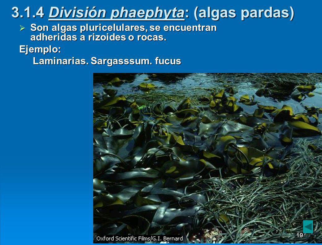 3.1.4 División phaephyta: (algas pardas)