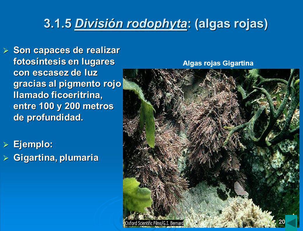 3.1.5 División rodophyta: (algas rojas)