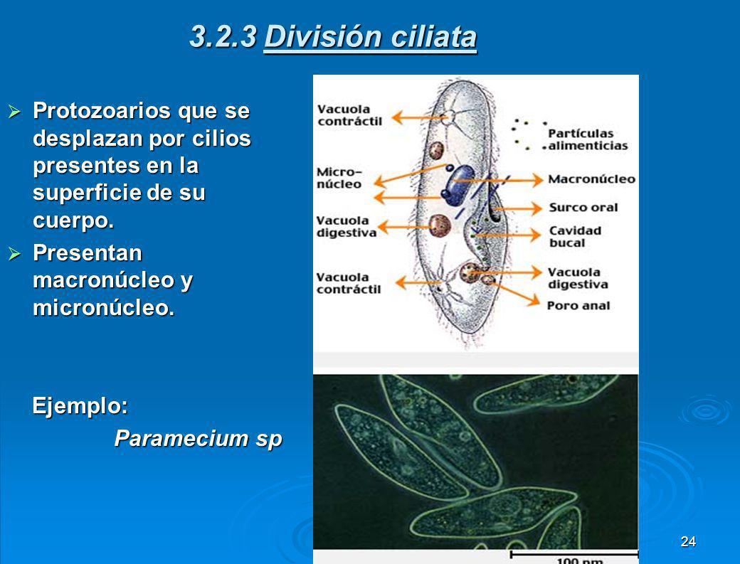 3.2.3 División ciliata Protozoarios que se desplazan por cilios presentes en la superficie de su cuerpo.