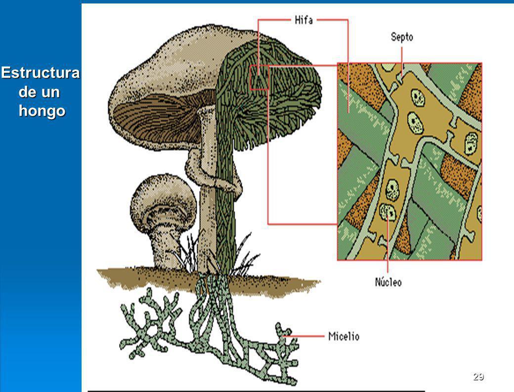 Estructura de un hongo
