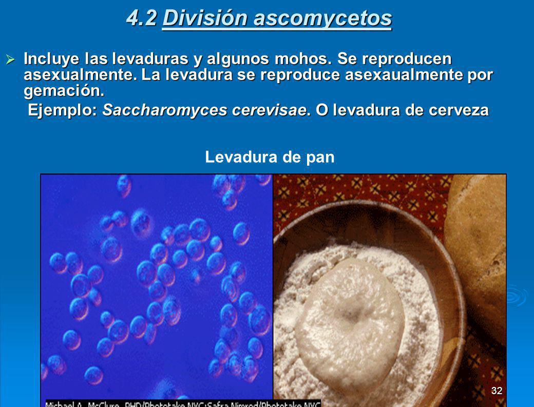4.2 División ascomycetos Incluye las levaduras y algunos mohos. Se reproducen asexualmente. La levadura se reproduce asexaualmente por gemación.