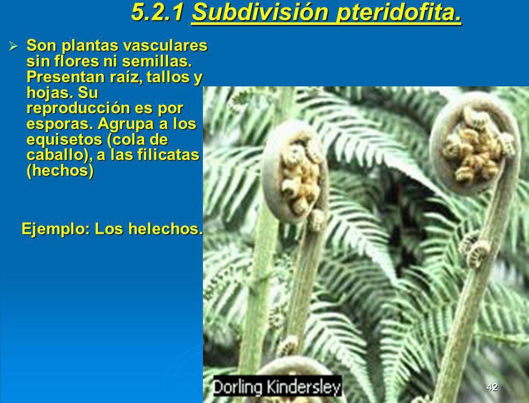 5.2.1 Subdivisión pteridofita.