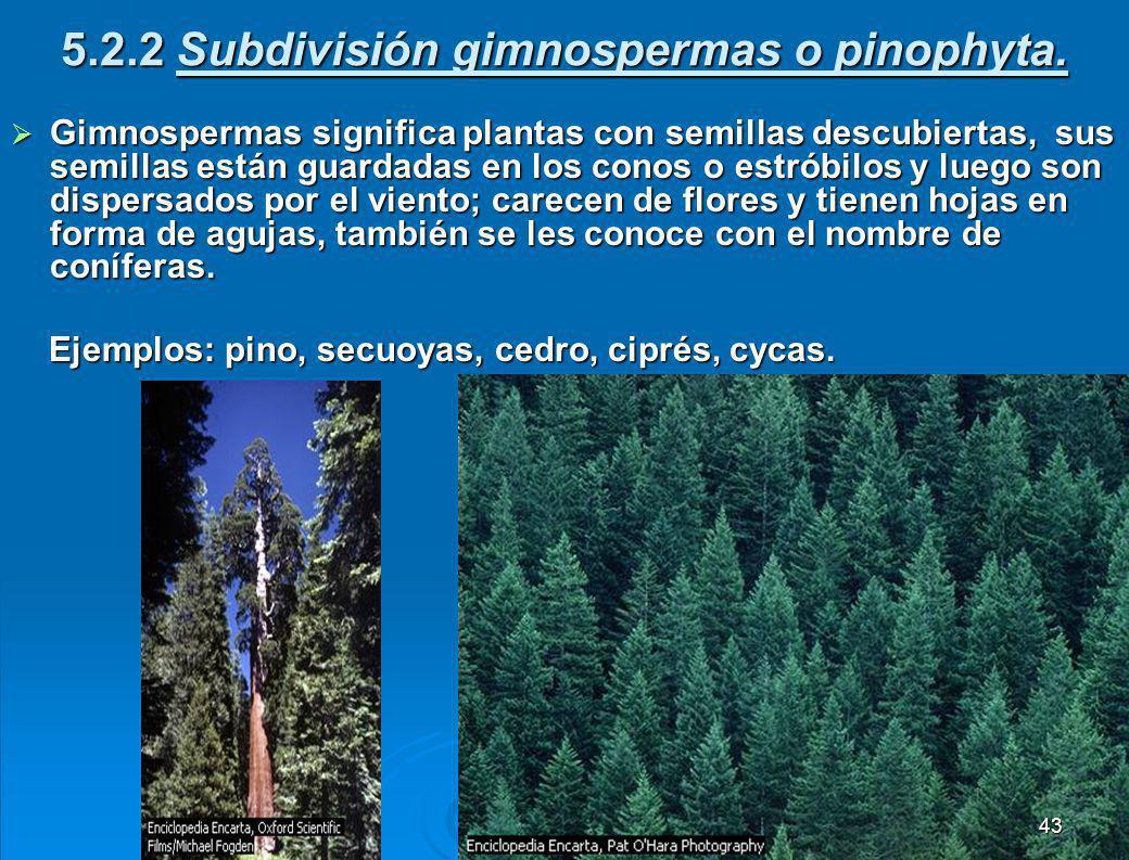 5.2.2 Subdivisión gimnospermas o pinophyta.