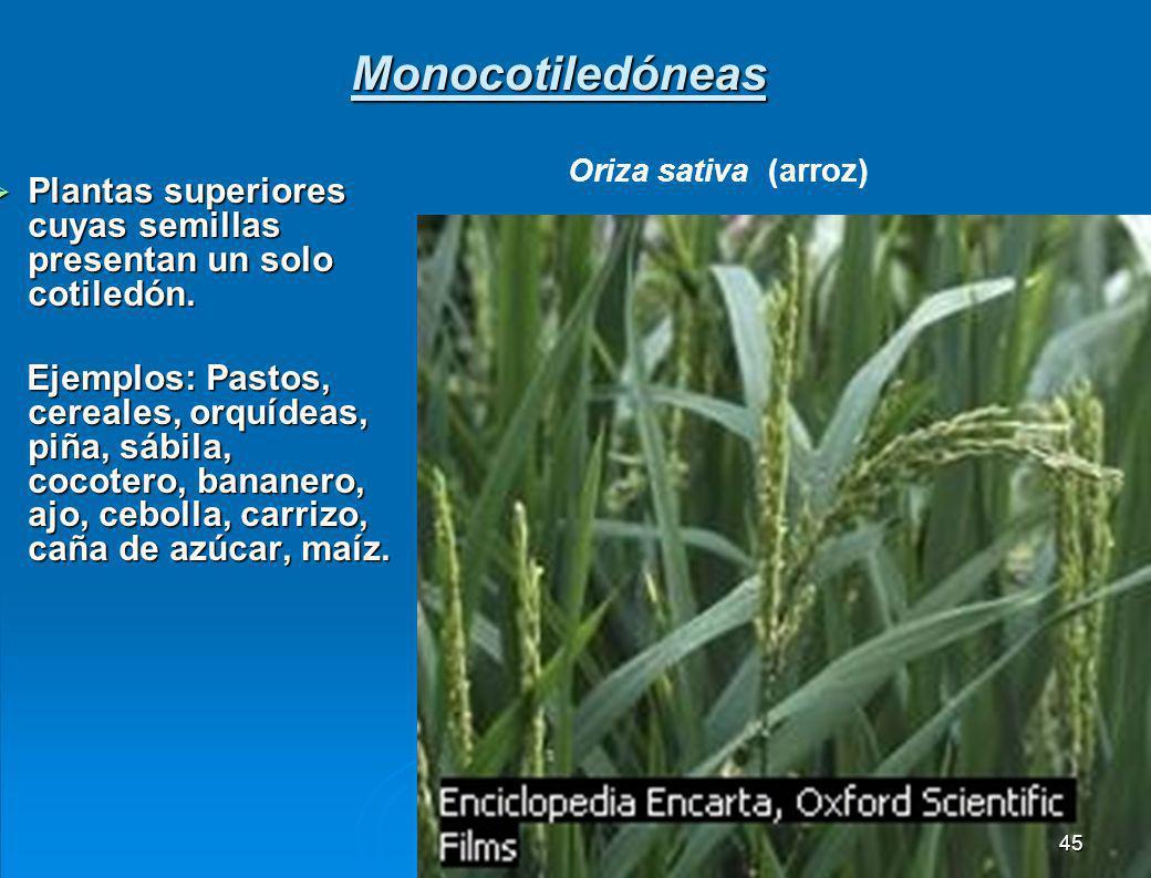 Monocotiledóneas Oriza sativa (arroz) Plantas superiores cuyas semillas presentan un solo cotiledón.