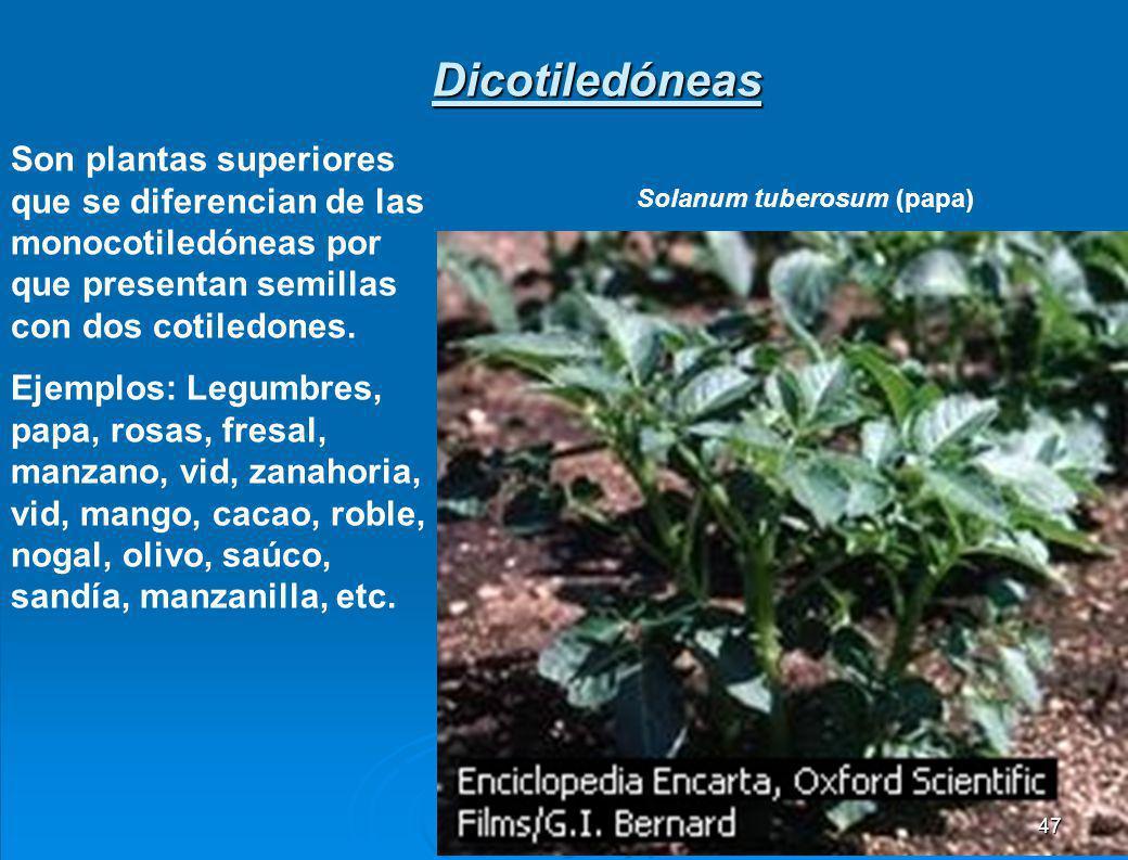 Dicotiledóneas Son plantas superiores que se diferencian de las monocotiledóneas por que presentan semillas con dos cotiledones.