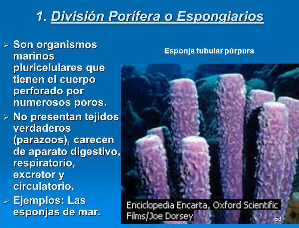 1. División Porífera o Espongiarios