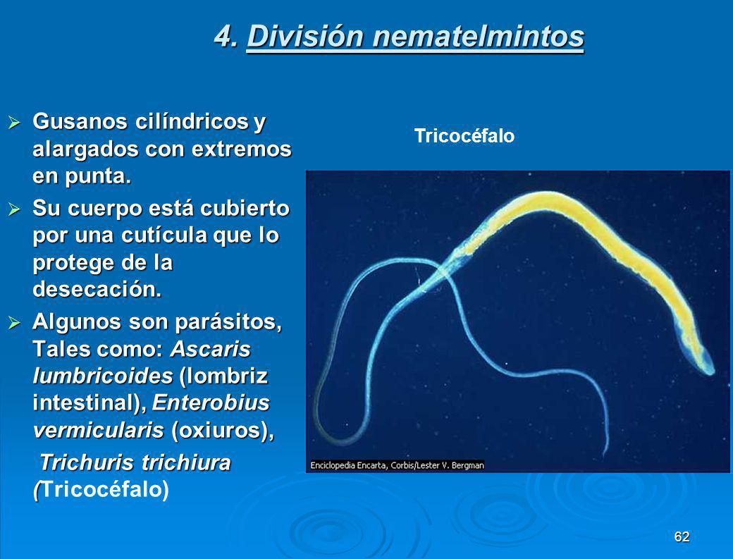 4. División nematelmintos