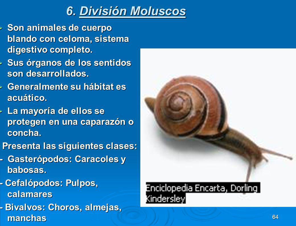 6. División Moluscos Son animales de cuerpo blando con celoma, sistema digestivo completo. Sus órganos de los sentidos son desarrollados.