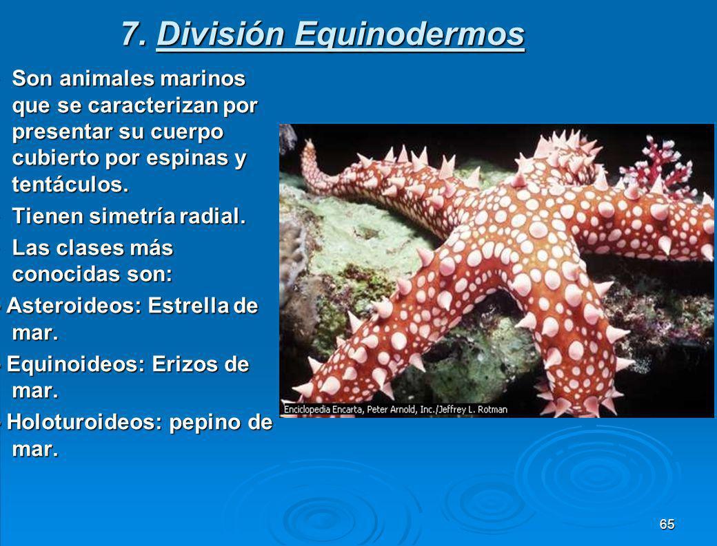 7. División Equinodermos