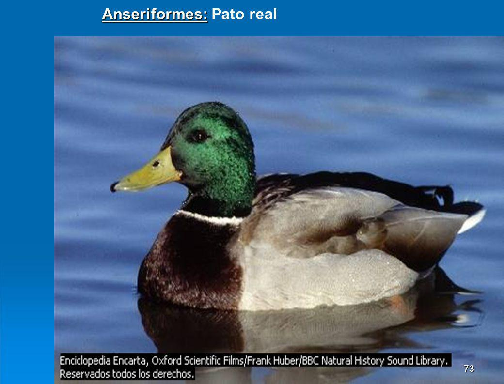 Anseriformes: Pato real