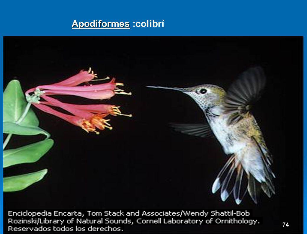 Apodiformes :colibrí