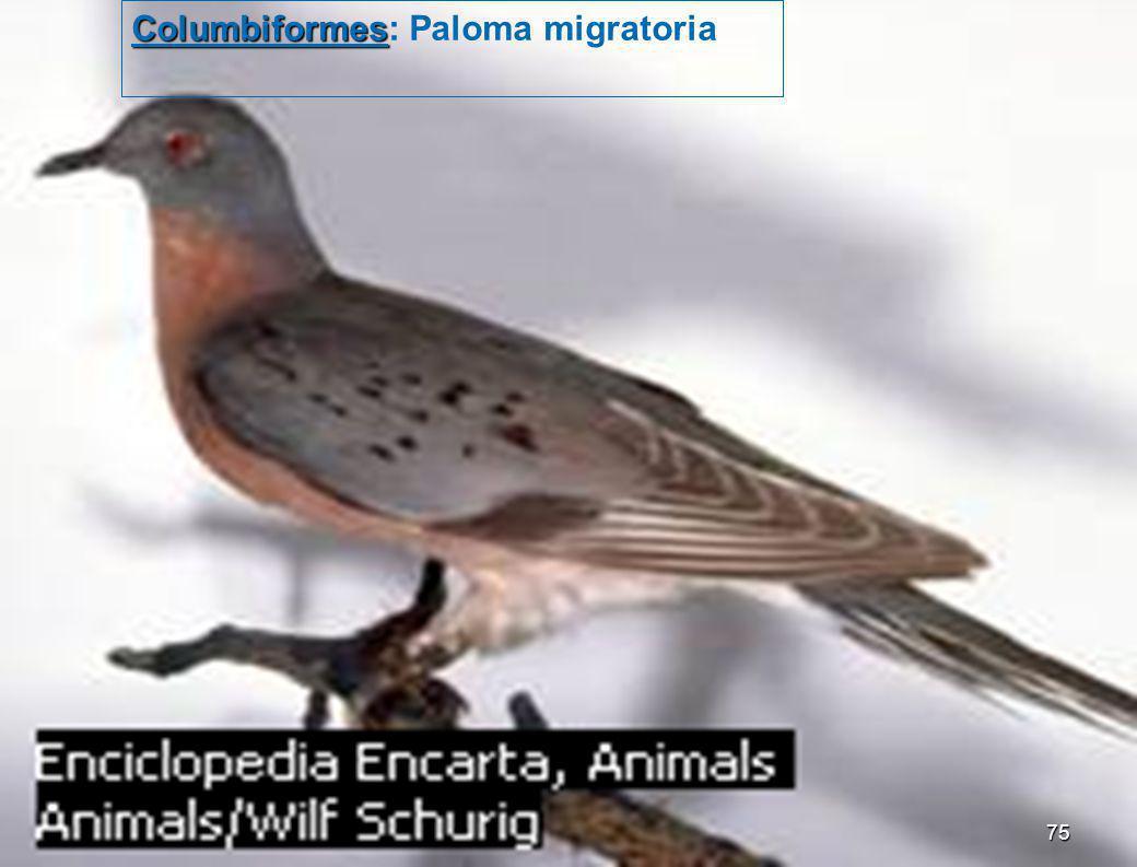 Columbiformes: Paloma migratoria