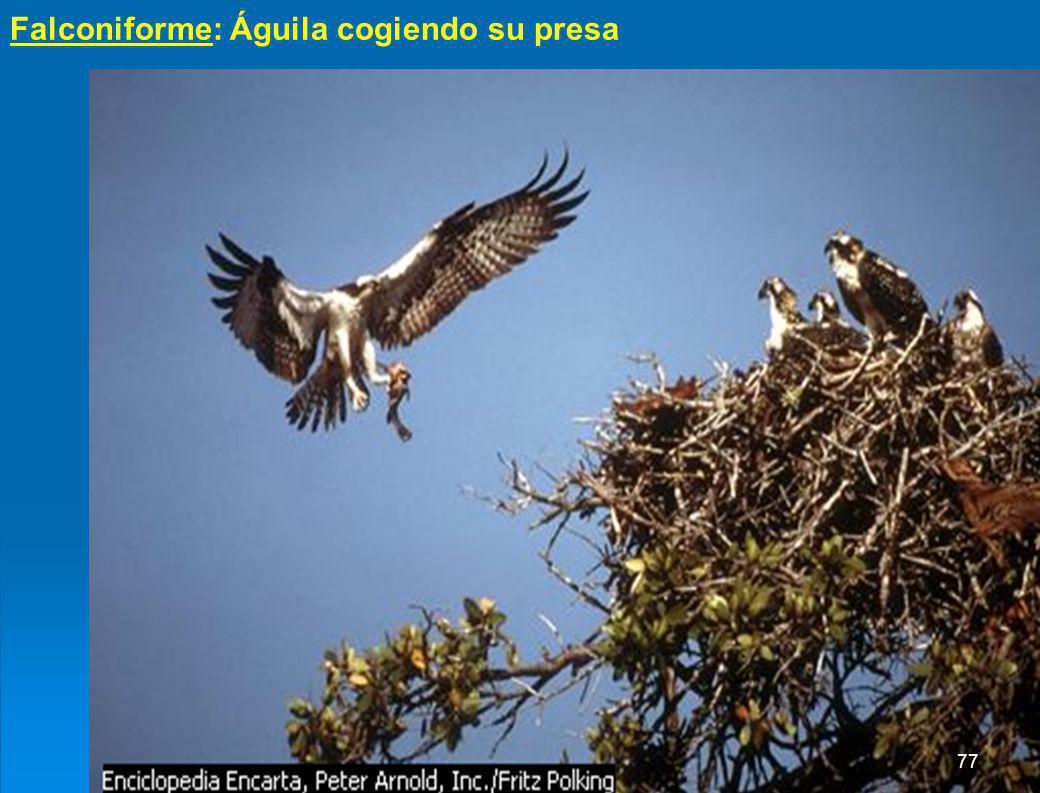 Falconiforme: Águila cogiendo su presa