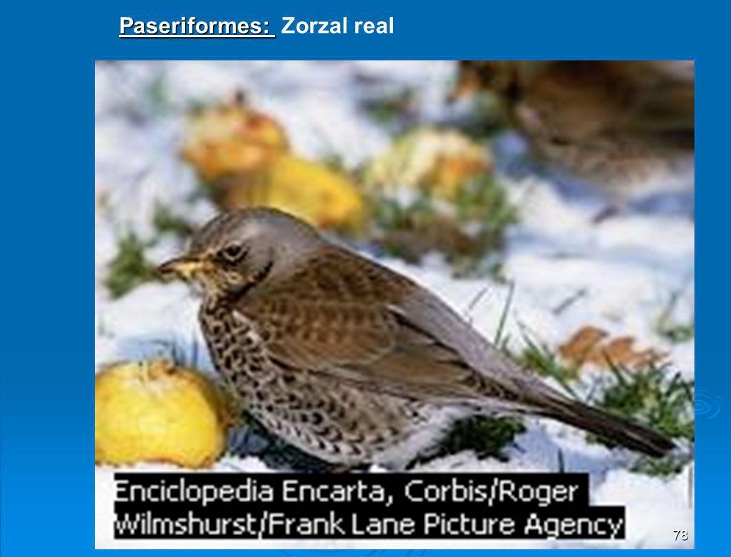 Paseriformes: Zorzal real