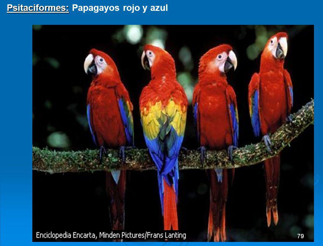 Psitaciformes: Papagayos rojo y azul