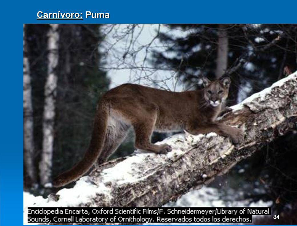 Carnívoro: Puma