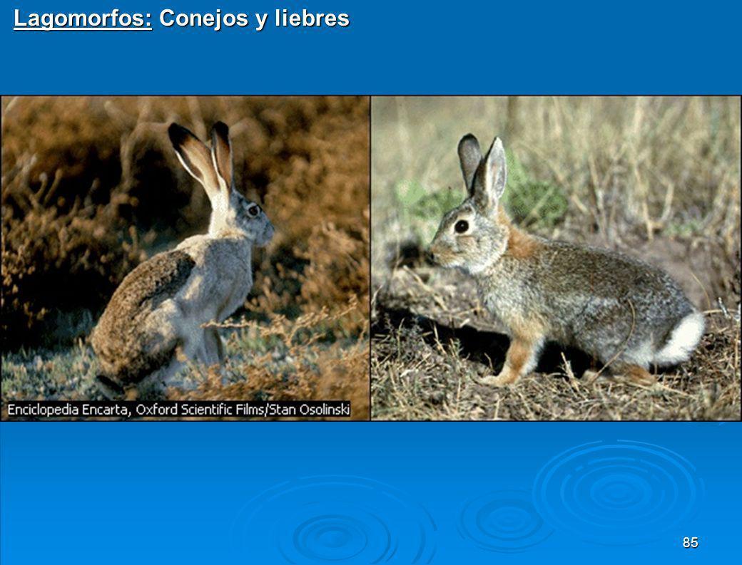 Lagomorfos: Conejos y liebres