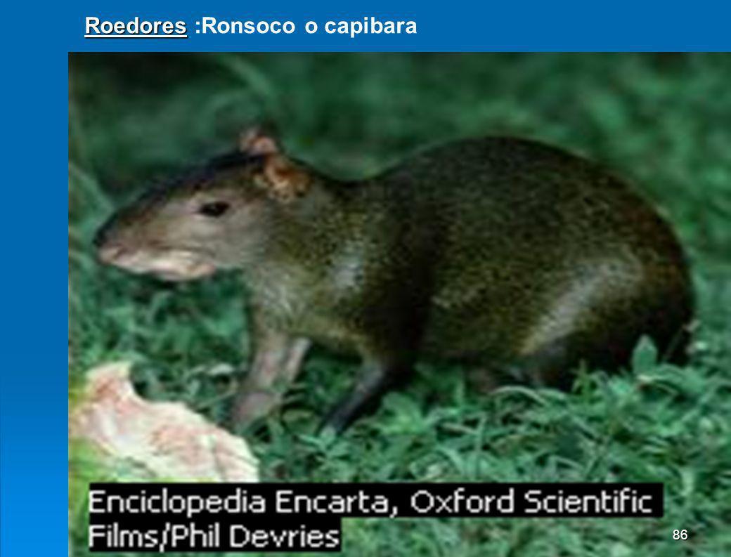Roedores :Ronsoco o capibara