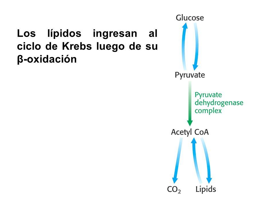 Los lípidos ingresan al ciclo de Krebs luego de su β-oxidación