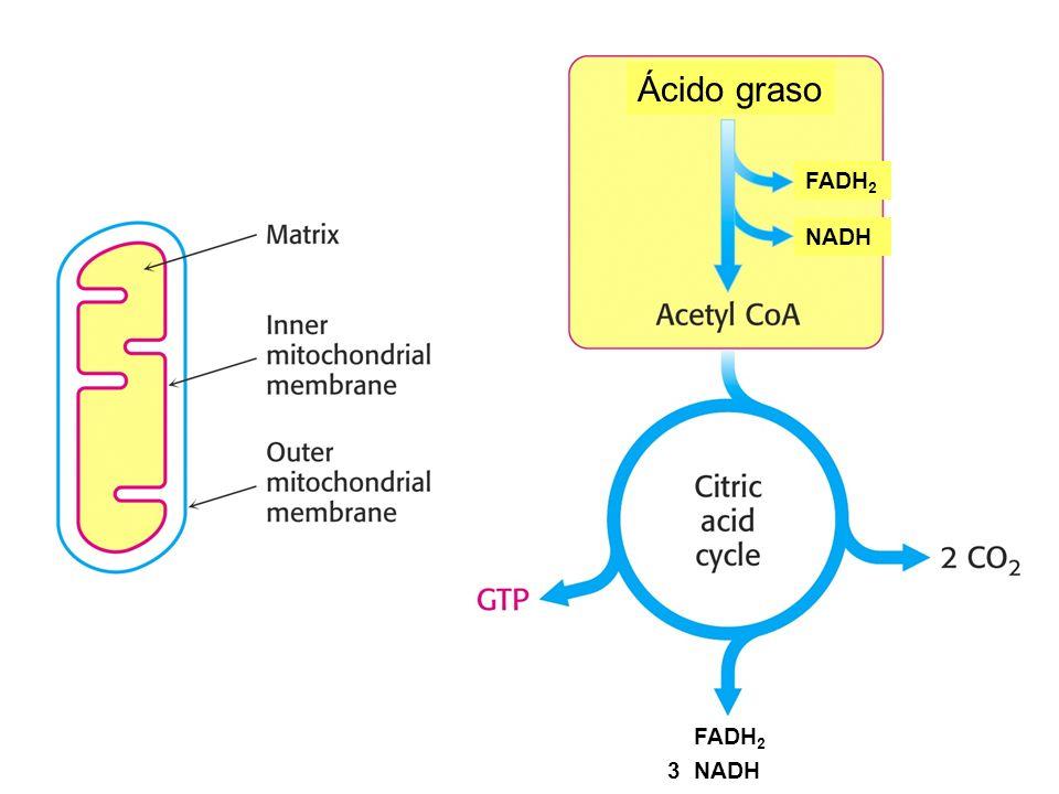 Ácido graso FADH2 NADH FADH2 3 NADH